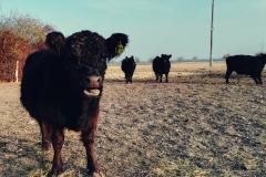 Düngt unser Gemüse - vielen Dank, freundliche Kuh!